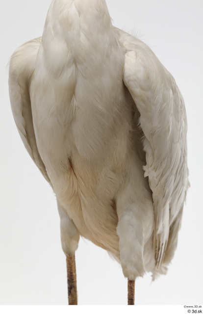 Chest Animal photo references