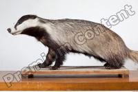 Badger body photo reference 0003