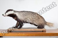 Badger body photo reference 0005