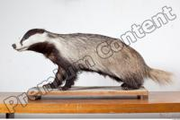 Badger body photo reference 0006