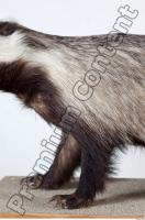 Badger body photo reference 0009