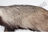 Badger body photo reference 0010