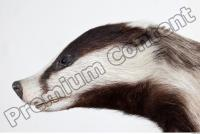 Badger head photo reference 0002