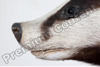 Badger head photo reference 0005