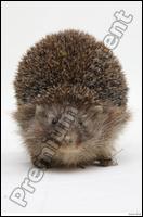Hedgehog - Erinaceus europaeus # 3