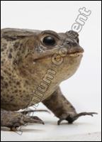 Toad # 2 (Bufo bufo)
