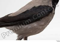 Carrion crow bird whole body wing 0001.jpg
