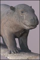 Hippopotamus - 3D Scan Animal