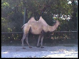 Camel movie